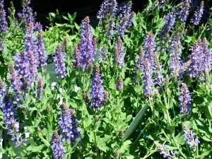 Salvia nemorosa (May Night Sage)