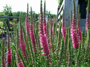 "Veronica spicata ""Red Fox"""