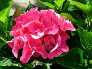 Color Fantasy Hydrangea Hydrangea macrophylla