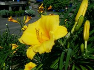 Daylily Hemerocallis (Stella de Oro)