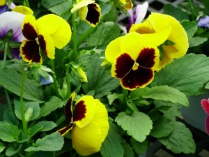 Pansy (Viola x wittrockiana) for Sale in Burke VA
